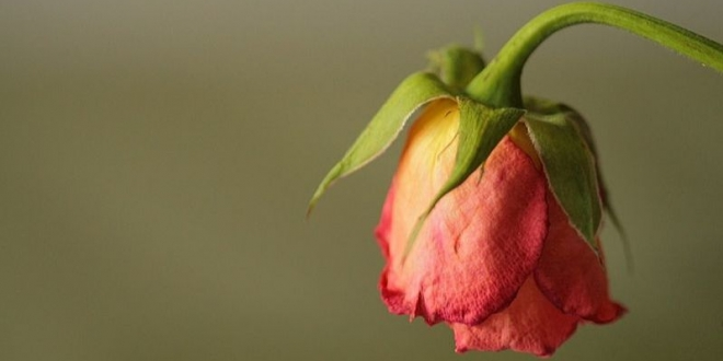 reviving-wilted-roses